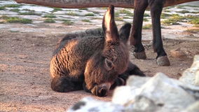 Baby donkey close up stock video footage