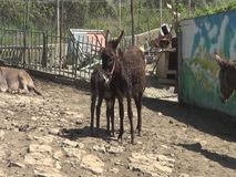 Donkey family, baby donkey `and mother stock video