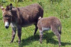 Baby donkey drinking Royalty Free Stock Images