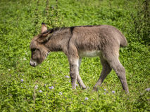 Baby donkey in field Royalty Free Stock Photography