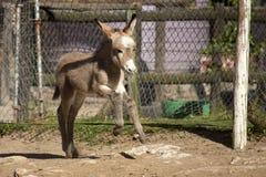 Baby Donkey foal Stock Image
