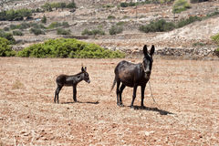 Baby donkey and his mother Stock Photography