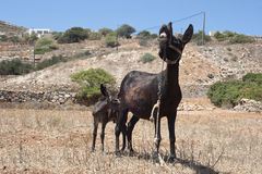 Baby donkey and his mother Royalty Free Stock Photography