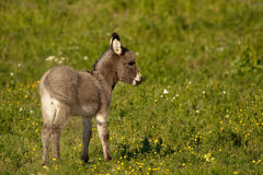 Baby donkey I Stock Photography