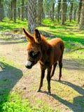 Baby Donkey Royalty Free Stock Images
