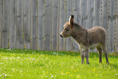 Baby donkey in lush green field Stock Image