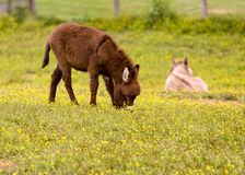 Baby donkey in meadow eating flowers Stock Photography