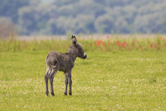 Baby donkey on the meadow Royalty Free Stock Photography