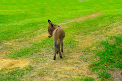 Baby Donkey Royalty Free Stock Photos