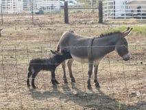 Baby donkey Stock Images