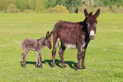 Baby donkey and mother on floral field. Baby donkey and mother on floral pasture stock image