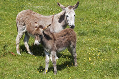 Baby donkey and mother Stock Images