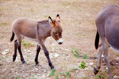 Baby donkey mule with mother. In mediterranean Spain Stock Photos