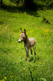 Baby donkey in nature Royalty Free Stock Images