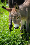 Baby donkey in nature Stock Photography