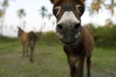 Baby Donkey Nose Closeup Royalty Free Stock Photography