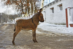 Baby donkey Royalty Free Stock Images