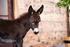 Baby donkey portrait Royalty Free Stock Image