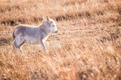 Baby donkey on the run Royalty Free Stock Photo