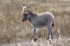 Baby donkey in steppe in southern Ukraine Royalty Free Stock Images