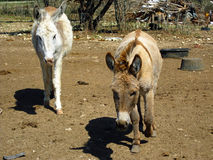 Baby Donkeys. Two baby donkeys on a local farm stock photography