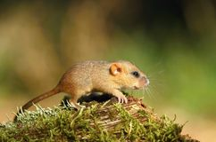 Baby dormouse Stock Photos