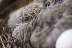 Baby Dove in the nest and with an egg. Stock Photos