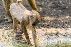 Baby Drill (Mandrillus Leucophaeus) Stock Images