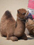 Baby dromedary. A baby dromedary laying in the sun on the beach stock photography