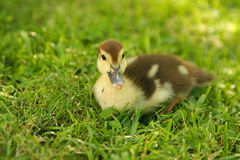 Baby Duck. Resting in green grass stock photography