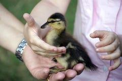 Baby duck Stock Photos