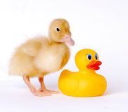 Baby Duck. Posing with plastic duck royalty free stock images