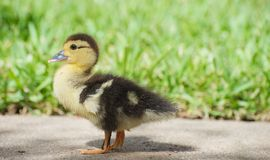 Baby duck. A cute lone baby duck in the sunshine with copy space royalty free stock photo