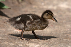 Baby duck. On a shore by the lake stock photo
