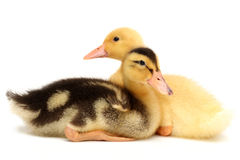 BABY DUCK. Closeup on white royalty free stock photography
