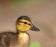 Baby duck. Portrait Stock Image
