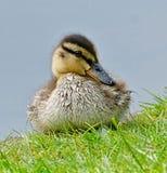 Baby Duck Anatidae Stock Image