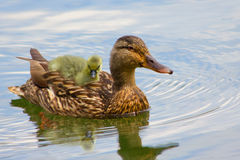 Baby Duck. Baby duck on back of Mom during summer