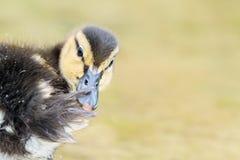 Baby Duck Bird. Swimming On Water Stock Photo