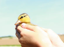 Baby Duck. A child holding a baby duckling stock images