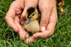 Baby duck in child`s hands. Baby Mallard duck. Cute baby duck in child`s hand. Baby Mallard duck. Lonely baby duck Stock Image