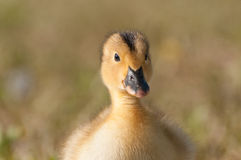 Baby Duck. Close up outside stock image