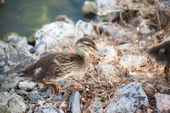 Baby Duck Duckling Royalty Free Stock Photography