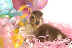 Baby duck in easter basket Royalty Free Stock Photo
