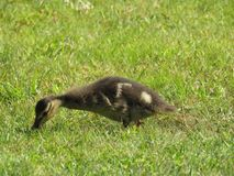 Baby duck in the grass. Baby duck eating in the grass royalty free stock image