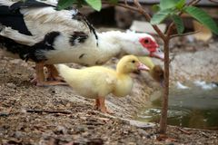Baby duck family happy in countryside style Royalty Free Stock Image