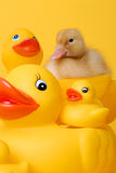 Baby duck and friends. Baby duck riding on toy duck stock photos