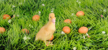 Baby duck in green grass royalty free stock photo