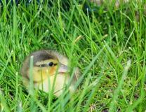 Baby Duck Hiding Stock Afbeelding