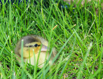 Baby Duck Hiding. A duckling hiding in the grass stock image